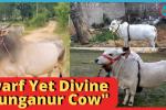 Punganur Cow